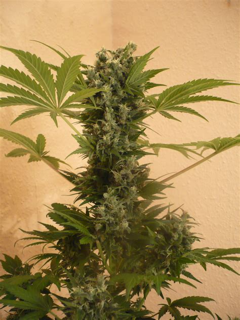 Strain-Galerie: AK47 (Serious Seeds) PIC